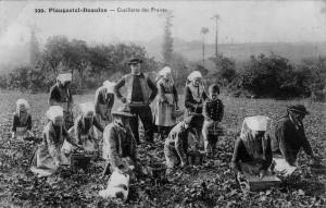Cartolina sulla coltivazione della fragola Wikipedia dominio pubblico